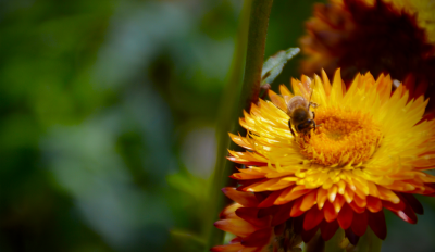 Honey bee is key species in important ecosystem services such as pollination. Credits: Simon Klein
